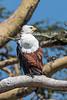 African Fish Eagle, Haliaeetus vocifer, Ol Pejeta Conservancy, Kenya, Africa