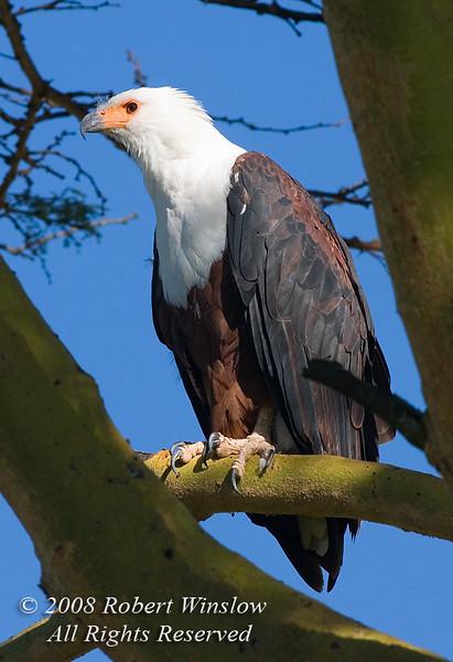Eagle, African Fish Eagle, Haliaeetus vocifer, Lake Nakuru National Park, Kenya, Africa, Falconiformes Order; Accipitridae Family