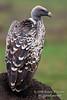Ruppell's Griffon Vulture, Gyps rueppellii, Masai Mara National Reserve, Kenya, Africa