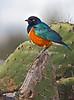 Superb Starling, Lamprotornis superbus, Rift Valley, Kenya, Africa, Passeriformes Order, Sturnidae Family