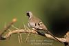 Dove, Namaqua Dove, Oena capensis, Samburu National Reserve, Kenya, Africa, Columbiformes Order, Columbidae Family