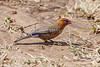 Female, Purple Grenadier, Uraeginthus ianthinogaster, Masai Mara National Reserve, Kenya, Africa