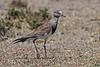 Black-winged Lapwing, or Black-winged Plover, or Greater Black-winged Lapwing, Vanellus melanopterus, Ol Pejeta Wildlife Conservancy, Kenya, Africa