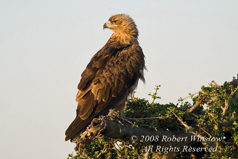 Eagle, Tawny Eagle, Aquila a. rapax, Masai Mara National Reserve, Kenya, Africa, Accipitriformes Order; Accipitridae Family