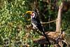 Hornbill, Eastern Yellow-billed Hornbill, Tockus flavirostris, Samburu National Reserve, Kenya, Africa, Coraciiformes Order, Bucerotidae Family
