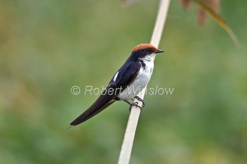 Wire-tailed Swallow, Hirundo smithii, Amboseli National Park, Kenya, Africa