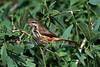 Spotted Morning-thrush, Cichladusa guttata, Samburu National Reserve, Kenya, Africa