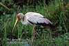 Stork, Yellow-billed Stork, Mycteria ibis, Masai Mara National Reserve, Kenya, Africa, Ciconiiformes Order, Ciconiidae Family