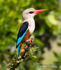 Grey-headed Kingfisher, Halcyon leucocephala, Masai Mara National Reserve, Kenya, Africa, Coraciiformes Order, Alcedinidae Family