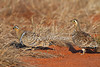 Black-faced Sandgrouse, Pterocles exustus, male and female, Tsavo East National Park, Kenya, Africa