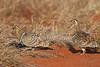 Black-faced Sandgrouse, Pterocles exustus, male and female, Tsavo East National Park, Kenya, Africa