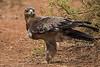 Steppe Eagle, Aquila nipalensis, Endangered Species, Samburu National Reserve, Kenya, Africa