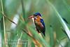Kingfisher, Malachite Kingfisher, Alcedo cristata galerita, Masai Mara National Reserve, Kenya, Africa, Coraciiformes Order, Alcedinidae Family