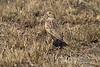 Lark, Rufous-naped Lark, Mirafra africana, Masai Mara National Reserve, Kenya, Africa, Passeriformes Order, Alaudidae Family