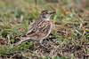 Red-capped Lark, Calandrella cinerea, Ol Pejeta Conservancy, Kenya, Africa