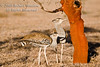 Bustard, Two Kori Bustards (Ardeotis kori struthiunculus). The Heaviest Flying Bird in Tropical Africa. Males weigh up to 18 kg or more.  Lewa Wildlife Conservancy, Kenya, Africa, Gruiformes Order, Otididae Family
