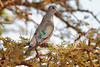 Emerald-spotted Wood-Dove, Turtur chalcospilos, Tsavo West National Park, Kenya, Africa