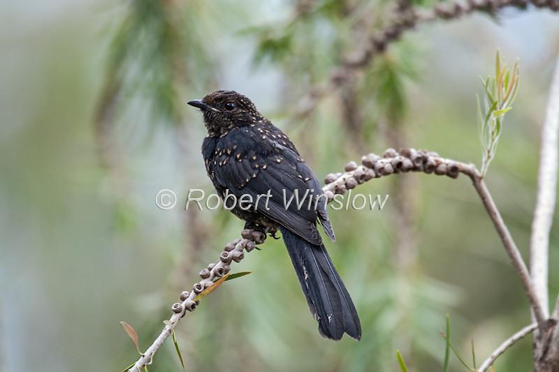 Northern Black Flycather, Melaenornis edolioides, Masai Mara National Reserve, Kenya, Africa