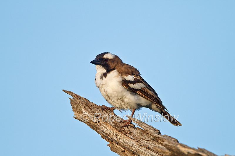 White-browed Sparrow-weaver, Plocepasser mahali, Lake Baringo, Kenya, Africa