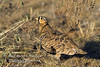 Sandgrouse, Black-faced Sandgrouse, Pterocles decoratus, Samburu National Reserve, Kenya, Africa, Columbiformes Order, Pteroclididae family