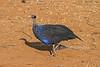 Vulturine Guineafowl, Acryllium vulturinum, Samburu National Reserve, Kenya, Africa