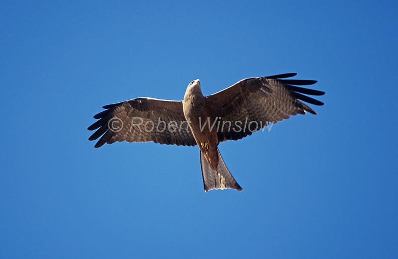 Black Kite, Milvus migrans, Masai Mara National Reserve, Kenya, Africa