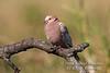 Dove, Albino Red Eyed Dove, Streptopelia semitorquata, Masai Mara National Reserve, Kenya, Africa, Columbiformes Order, Columbidae Family