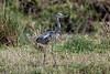 Grey Heron, Ardea cinerea, Masai Mara National Reserve, Kenya, Africa