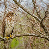Red tail hawk, central Florida, Lake Apopka photographed by - Jerry Dalrymple