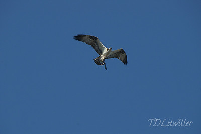 Osprey in flight with fish.