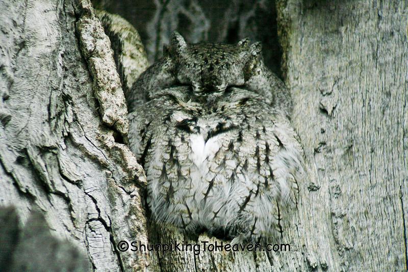 Eastern Screech Owl, Winnebago County, Wisconsin