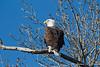 Bald Eagle-8111