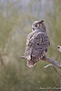 Great Horned Owl 146