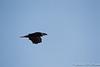 Bald Eagle-7922