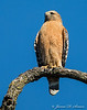Red-shouldered Hawk-6123