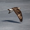 Rough-Legged Hawk-7469
