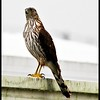 Coopers Hawk.......Clearwater,Florida......Feb. 10, 2011