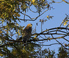 Red Shouldered Hawk, American River Parkway, Sacramento