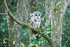 Barred Owl, Grant County, Wisconsin