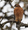 Red-shouldered Hawk-2310-Edit