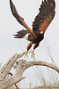 Harris' Hawk-2742-Edit