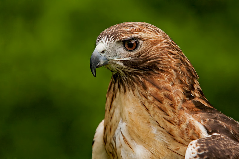 red-tailed hawk taken by Jerry Dalrymple