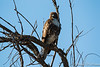 Red-Tailed Hawk Immature-8038