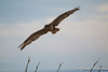 Ferruginous Hawk-