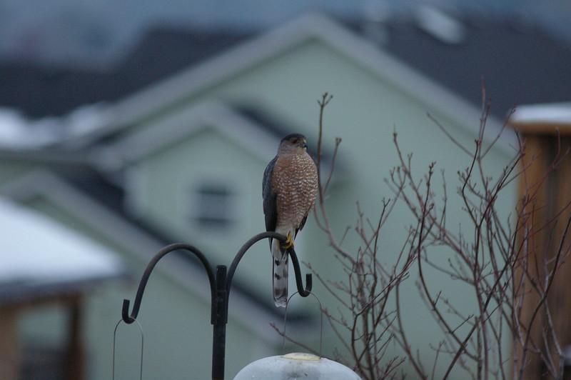 Sharp-shinned Hawk?