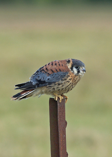 Immature Am. Kestrel