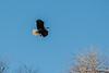 Bald Eagle-6732