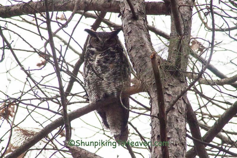 Great Horned Owl, Dane County, Wisconsin