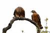 Red-shouldered Hawk Courtship-6140