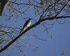 Cooper's Hawk,4036C